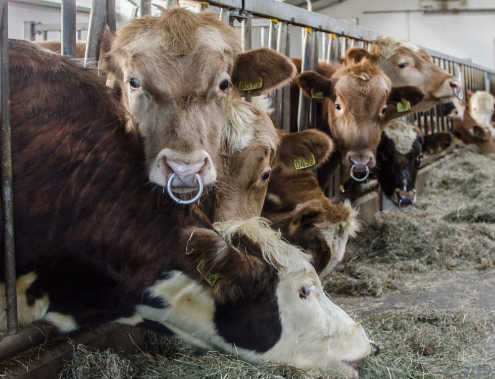 All You Wanted to Know about Iceland's Cows Reproduction